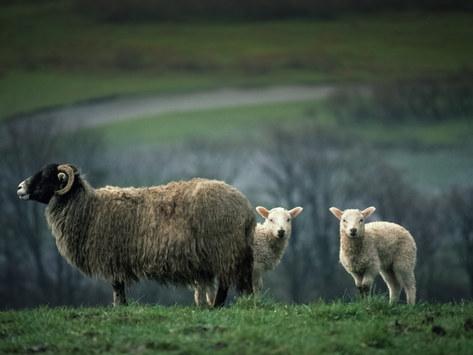 Ewe & Lambs, Wensleydale, North Yorkshire