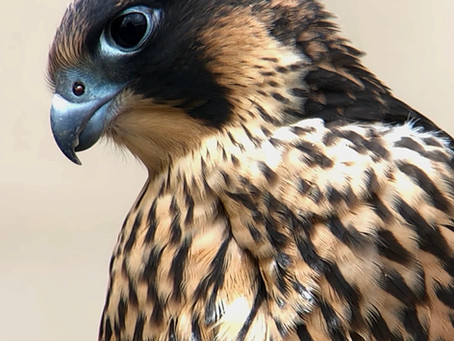 Leeds Peregrine Walks