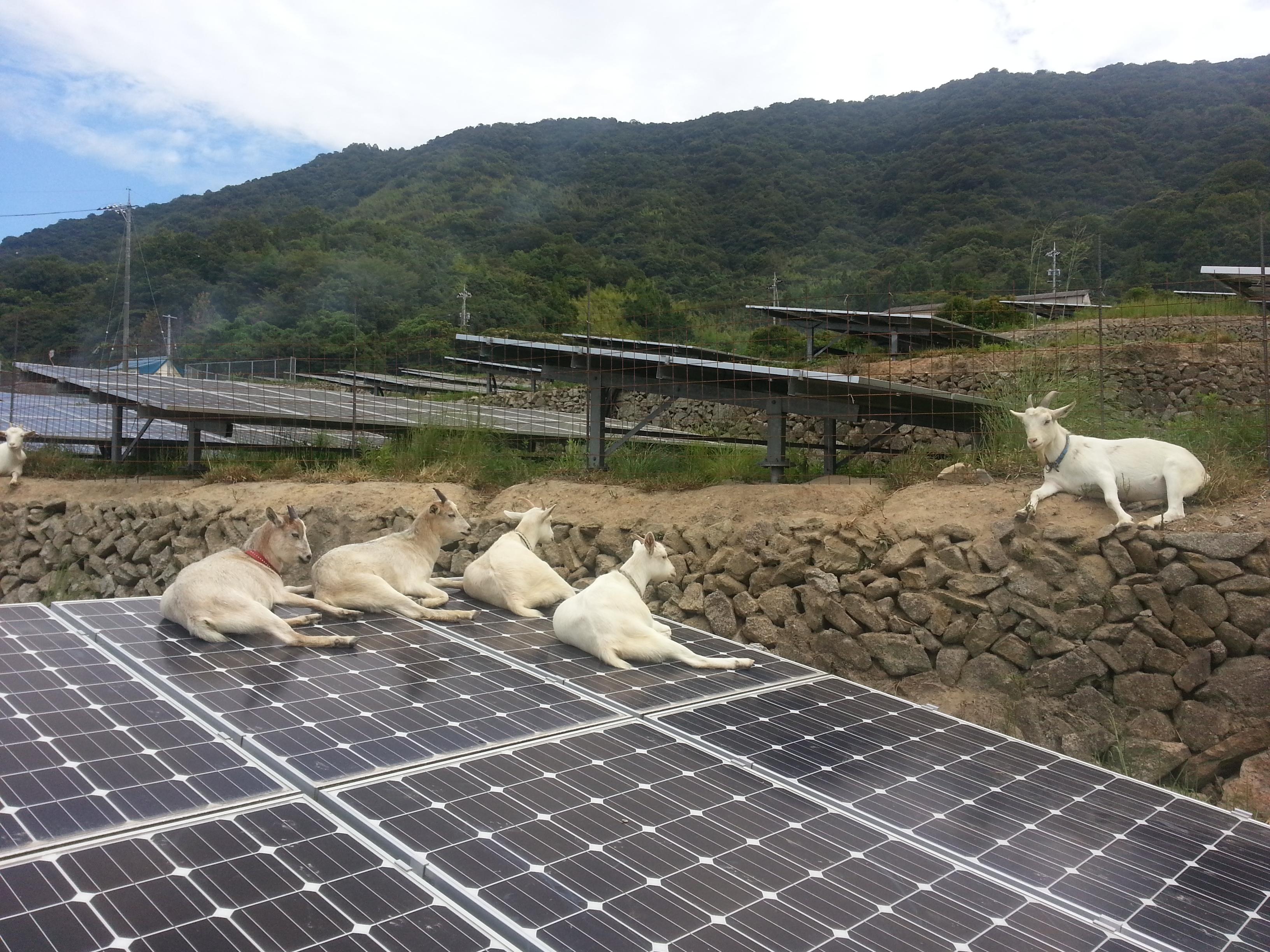 江田島ソーラーの山羊