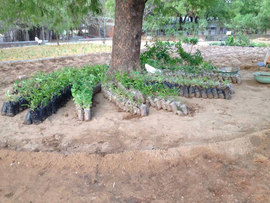 saplings ready to be planted