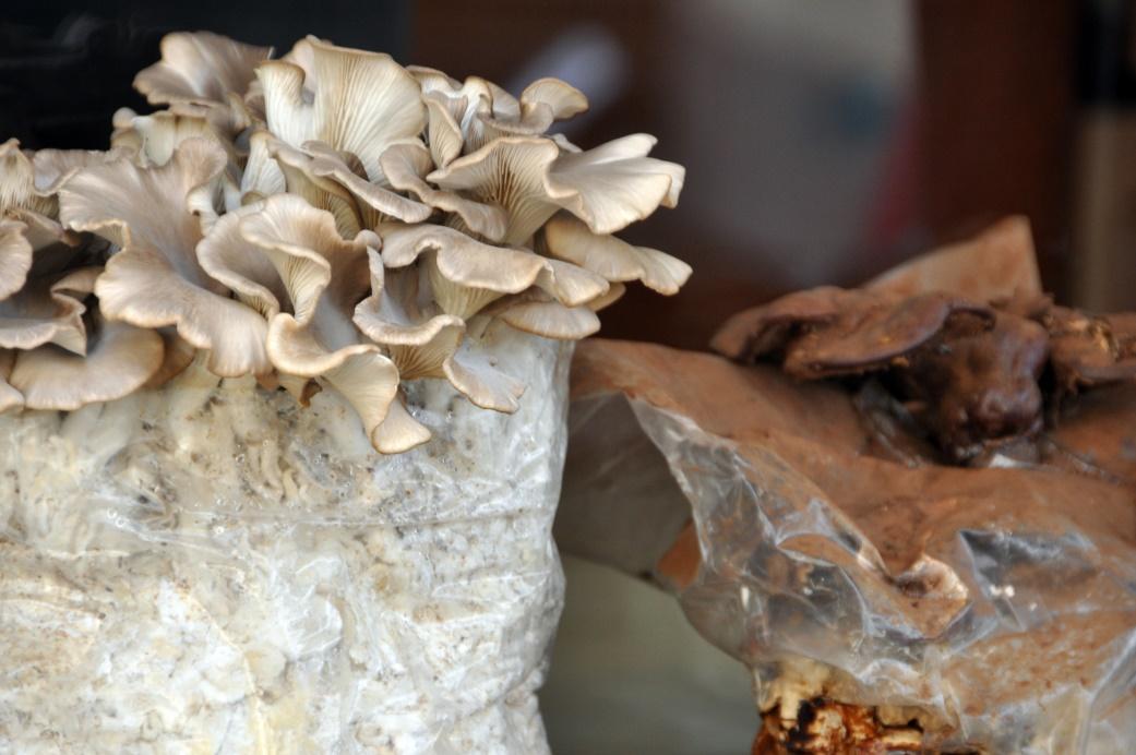 Gebratene Champignons, Pilz- Zuchtschalen