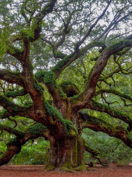 Heart of Oak Tree Energy Session
