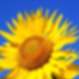 sunflower-2511961_1280.jpg