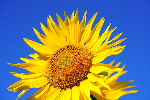 sunflower-2511961_1280.jpg