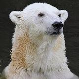 polar-bear-3616806_640.jpg