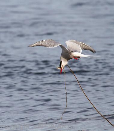 Arctic Tern Catches Fish