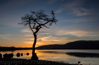 Loch Lomond Crow in Tree at Sunset