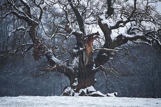 Mawley Oak