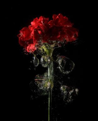 Carnation Splash