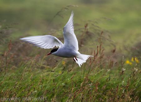 Arctic Tern Flight
