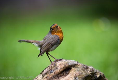 Robin Pose