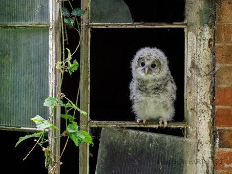 Ural Owl Chick