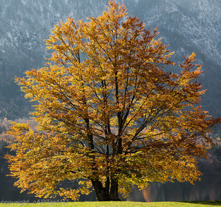 Lake Bohijn, Autumn Tree