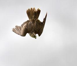 Stooping Falcon Bird of Prey Workshop UK