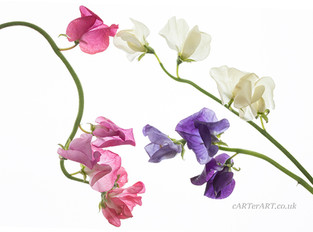 Trio of Sweet Peas