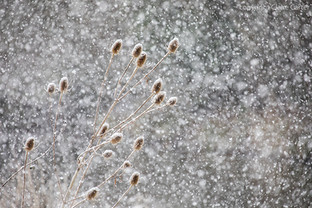Teasels in Snow