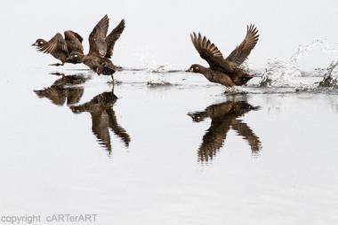 Female harlequin ducks