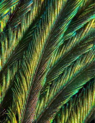 Peacock Feather Microscopy