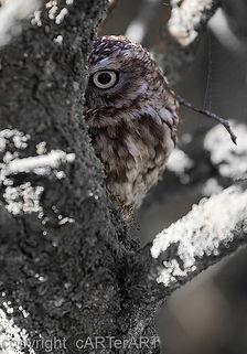 Bird of Prey photography workshop in shropshire. Little owl.
