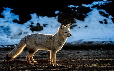 South American grey fox. Patagonia