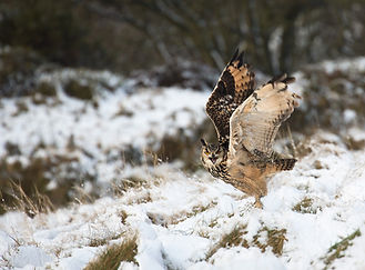 Eagle owl in Snow Claire Carter