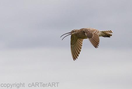 Wimbrel Flight