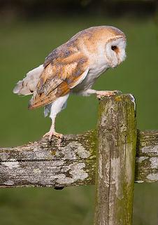 barn owl bird of prey workshop shropshire west midlands