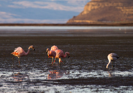Flamingo. Patagonia.