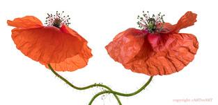 Poppy Duo
