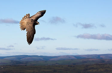 Falcon Flying over The teme Shropshire