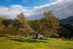 Long Mynd Hawthorn