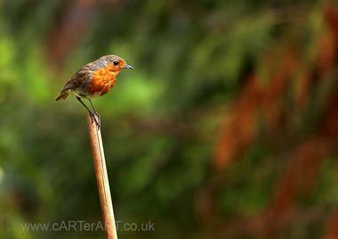 Robin on Pea Stick