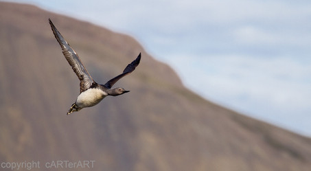 Red Throated Diver Flight