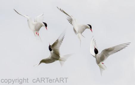 Arctic Tern Squabbles