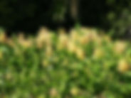DSCF0786-wild-ginger-weedbusters.JPG