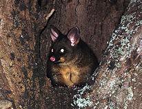 possum-credit-flickr-cc-travelling-pooh.