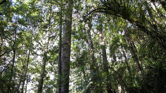 Next steps following the Kauri Dieback Confirmation in Kauri Park