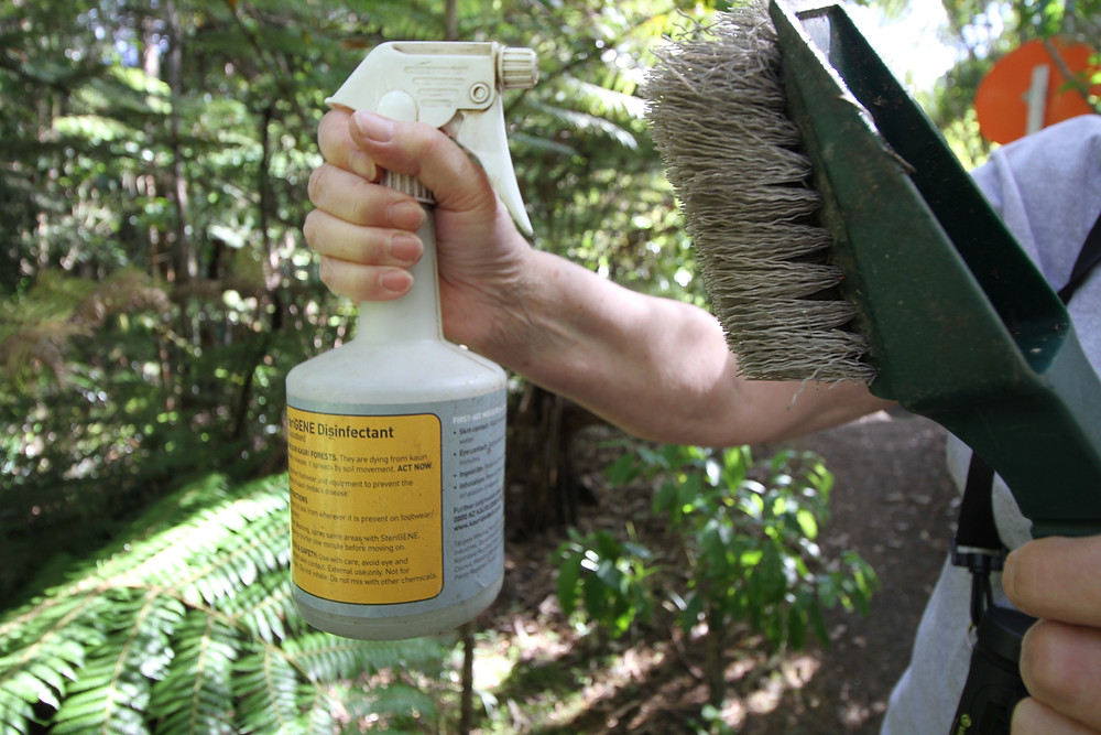 Sterigene spray should be used when entering and leaving anywhere that Kauri are present.