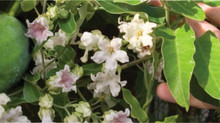 Help eradicate Moth Plant in Kaipatiki!