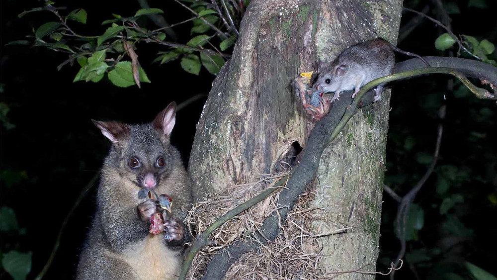 Possums and rats prey on birds and their eggs