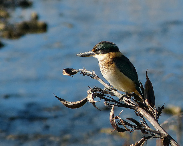 Kingfishers love the Kaipatiki coast