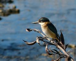 Kingfishers love the Kaipatiki coast