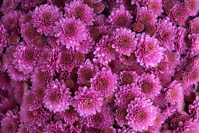chrysanthemum-1013089.jpg
