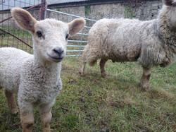 Friendly Lamb