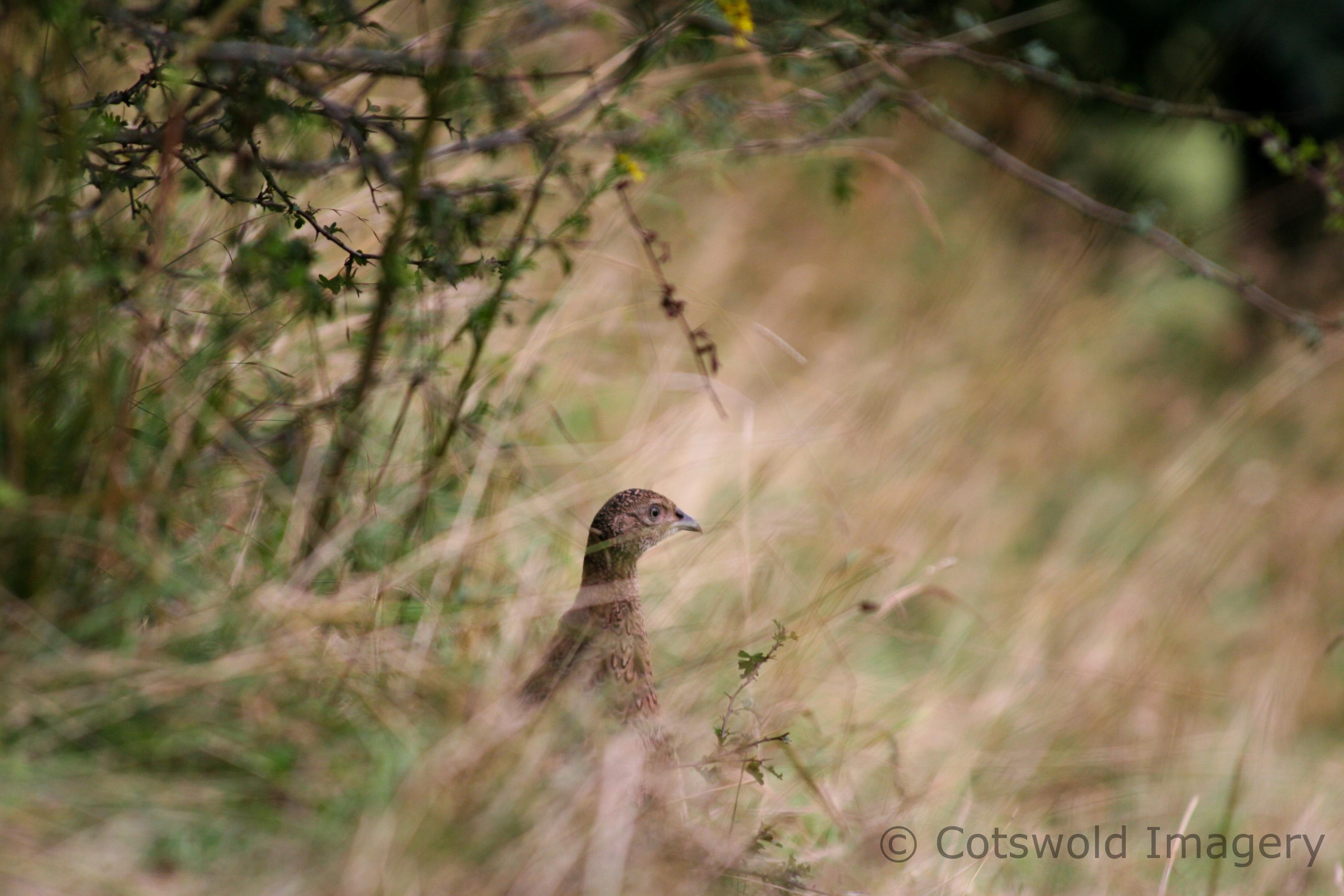 Cirencester Park Pheasant