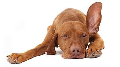 orecchie-udito-cani.jpg