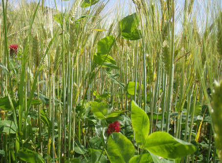 Teaming up for good: intercropping and farming-science partnership at JHI