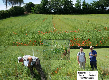 Perspectives from Italy (part 2): more promising results for barley-pea intercropping