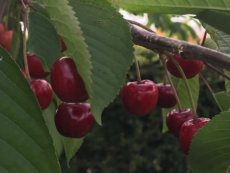 When is a cherry not a cherry?