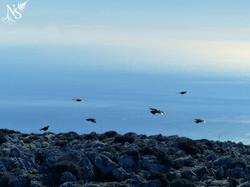 Ravens' flight ❉ Envol de corbeaux